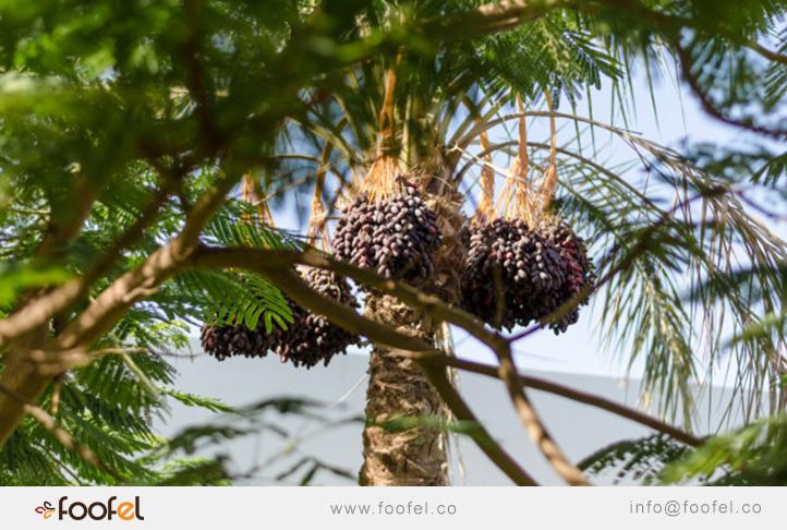 Dates Palm iranian